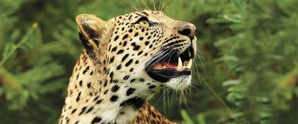 banner_2_johan-leopard
