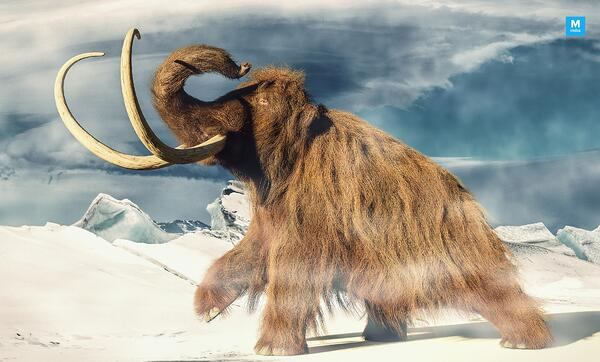 researchers-say-woolly-mammoth-went-extinct-4000-years-ago-o_psr9